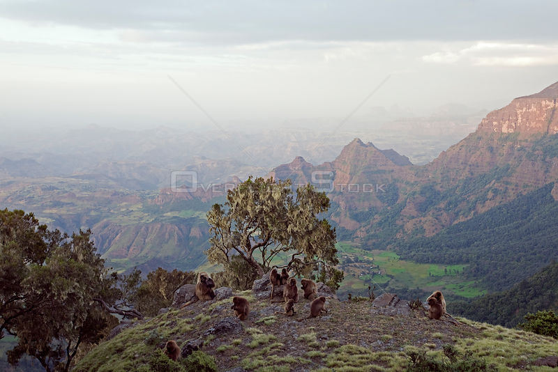 Gelada baboon (Theropithecus gelada) group sitting on the cliff edge before going down to sleep, Simien Mountains National Park, Ethiopia, November