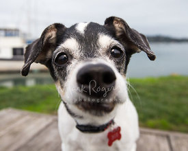 Extreme Close-up of Terrier Mix Senior Dog with Nose in Camera