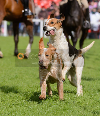 Parade of Hounds, Badminton Horse Trials 2014 photos