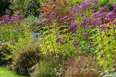 Border including Eupatorium maculatum Atropurpureum group and potentilla. Rhodds Farm, Kington, Herefordshire, UK