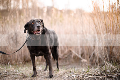 senior black labrador retriever standing by reeds