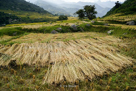 Drying rice straws on the fields in Punakha, Bhutan.