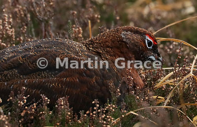 Male Red Grouse (Lagopus lagopus scotica) feeding on Heather (Ling) (Calluna vulgaris), early January, Lochindorb, Scottish Highlands