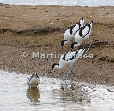 Territorial behaviour from Pied Avocets (Recurvirostra avosetta), Leighton Moss, Lancashire, England, May 6