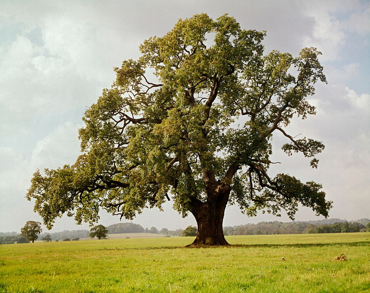 Oak tree Windsor