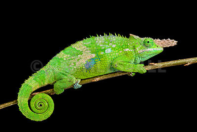 West Usambara Blade-horned Chameleon (Kinyongia multituberculata) photos