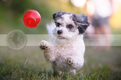small grey and white groomed dog playing with ball in grass