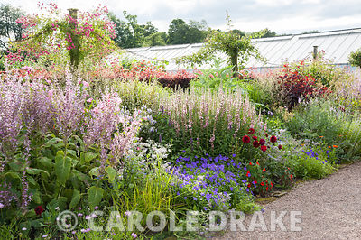 Border near the glasshouses includes tall Salvia turkestanica, geraniums, eryngiums, pink mallows, penstemons and Cotinus coggygria 'Royal Purple'. Floors Castle, Kelso, Roxburghshire, Scotland