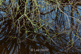 Lichen-encrusted Branches and Tree Reflections in Slough