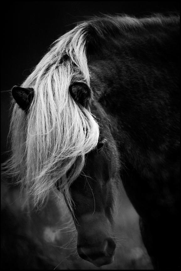 White forelock with black mane, Wild Horse of Iceland 2015 © Laurent Baheux
