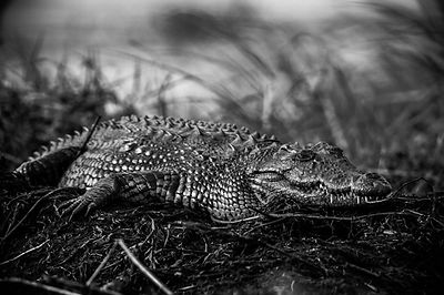 Crocodile in the grass, Botswana 2009 © Laurent Baheux