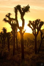 Joshua Tree Sunset