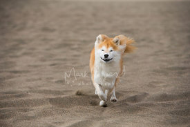 Brown and white Shiba Inu Running on Beach