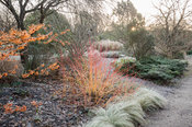 Cornus sanguinea 'Anny's Winter Orange' surrounded by silvery carex and hamamelis. Sir Harold Hillier Gardens, Ampfield, Romsey, Hants, UK