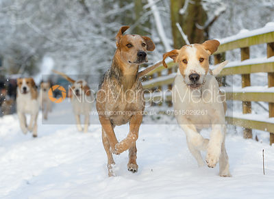 The Cottesmore hounds exercise in the snow, Owston Woods 12/12 photos