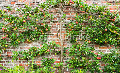 Espalier apple. Helmsley Walled Garden, Helmsley, York, North Yorkshire, UK