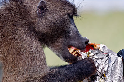 Alpha Male Baboon Royalty Free Stock Image - Image: 11780806