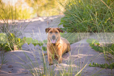 happy mixed breed tan dog lying on sand dune with grasses