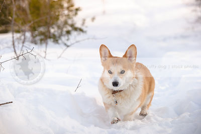 cute red and white short corgi coming down winter snow trail