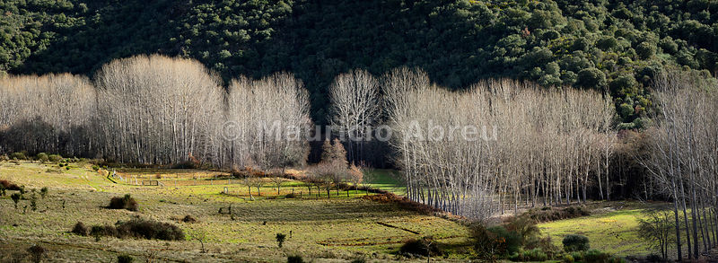 Poplars in Winter. Montesinho Natural Park, Tras-os-Montes. Portugal