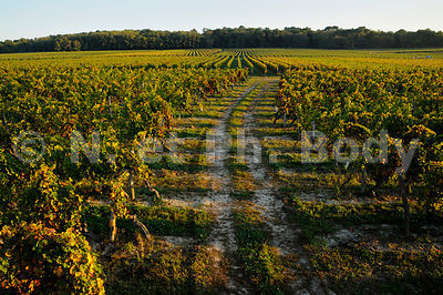 France, Indre et Loire, Bourgueil, vignoble//France,Loire Valley, Indre et Loire, Bourgueil , vineyard