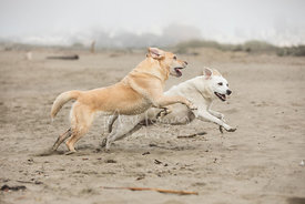 Two Labrador Retriever Dogs Running Side by Side on a Beach