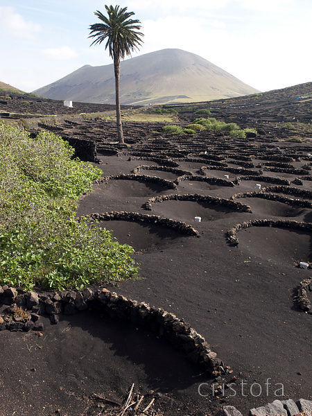 growing grapes for wine in Lanzarote