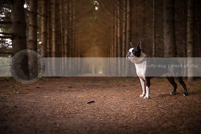 alert boston terrier dog standing in forest of pine trees