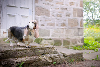 senior basset hound dog looking away on stoop at stone house