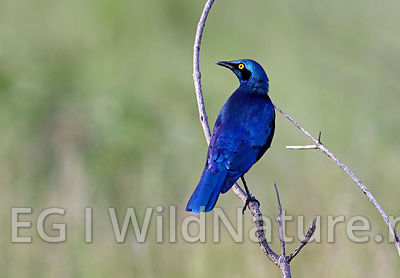 Greater blue-eared starling/Blåøreglansstær - Ethiopia