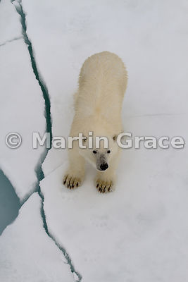 Polar Bear (Ursus maritimus) on ice floe