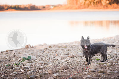 small scruffy terrier dog standing on stoney beach