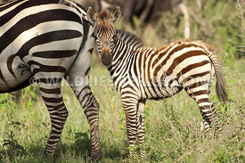 Zebra Foal Close to Mom's Rear