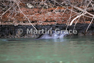Brazilian (or South American or Lowland) Tapir (Tapirus terrestris) swimming by the bank of the Piquiri River, Northern Pantanal, Mato Grosso, Brazil