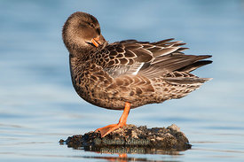 Mallard Hen, Redwood Shores, CA, USA