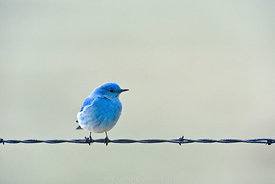 128 Bluebird On A Wire