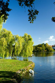 Weeping Willow salix babylonica, Roath Park Lake, Roath Park, Cardiff, Wales.