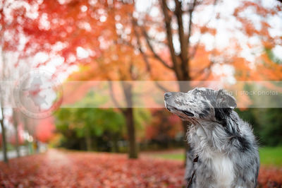 portrait of blue merle dog sniffing air scent in colorful autumn trees