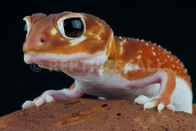Smooth knobtail gecko (Nephrurus levis levis) photos