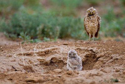 Burrowing Owls photos