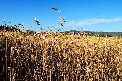 A field of rye. Montesinho Nature Park, Portugal