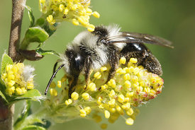 Andrena cineraria  on Salix species at Kanaalbermen , Bellem ( 2013/04/21)