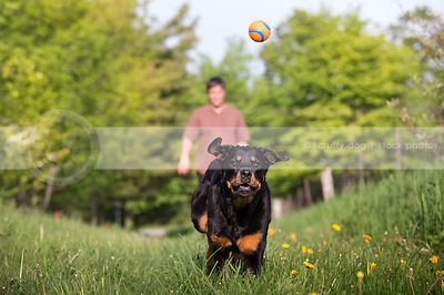 rottweiler dog with owner fetching ball in mowed grass