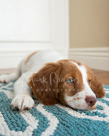 Brittany Spaniel puppy lying down on blue and white rug