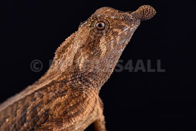 Leaf-nosed lizard (Ceratophora tennentii) photos