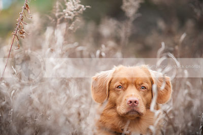 headshot of red toller dog in dried grasses with minimal background