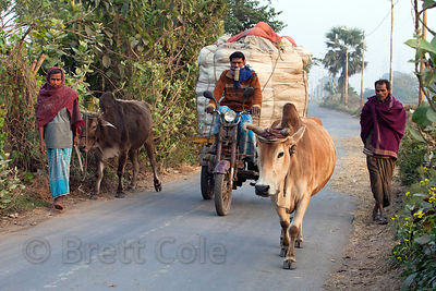 Farmer leads cows down a rural road near the Dhapa dumping ground, the main landfill for Kolkata, India.