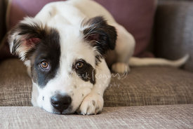 Close-up of brown eyed Australian Shepherd mix puppy