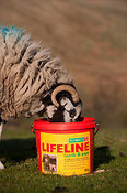 Swaledale ewe eating from a supplement pre lambing feed block.