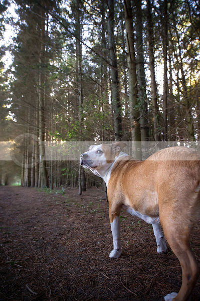 tan dog from behind looking back standing in pine forest